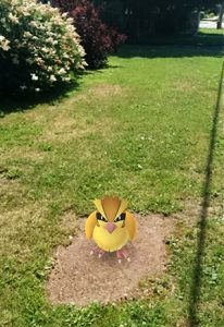 A Pidgey in my neighborhood!